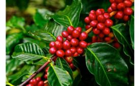 Coffee flour reusable ingredient in foods